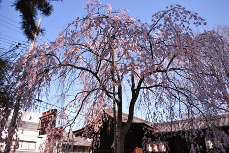 縣神社 木の花さくら