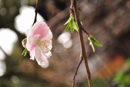 六孫王神社 源氏桜