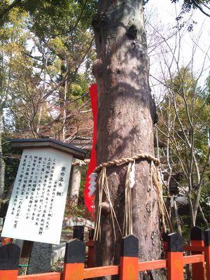 若王子神社 ナギの木