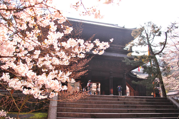 インクラインの桜
