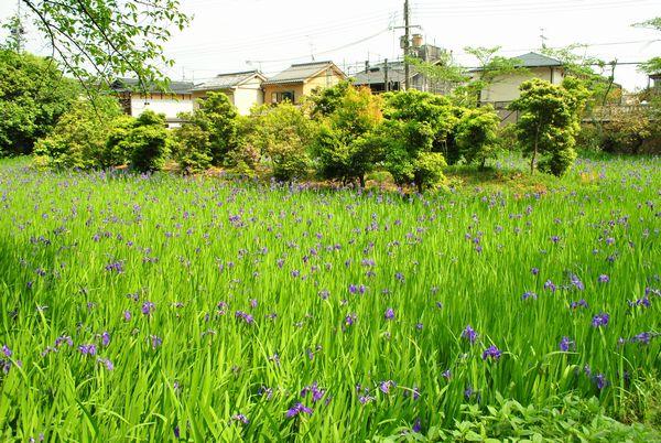 太田神社 カキツバタ