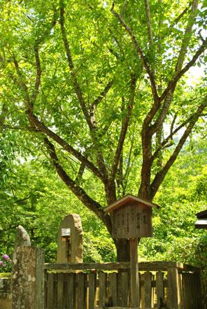 紀貫之 梅の木