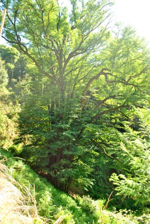 岩間寺 桂の樹