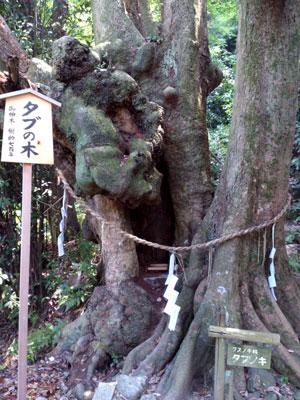 石清水八幡宮 タブの木