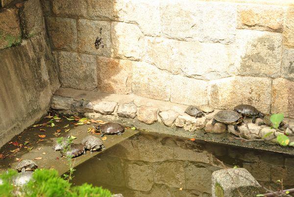 壬生寺 放生池 亀