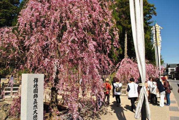 金剛峯寺 桜