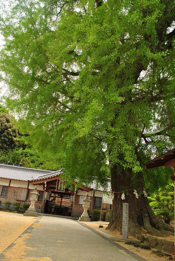 丹生酒殿神社 イチョウ