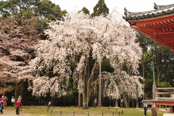 醍醐寺 金堂 桜
