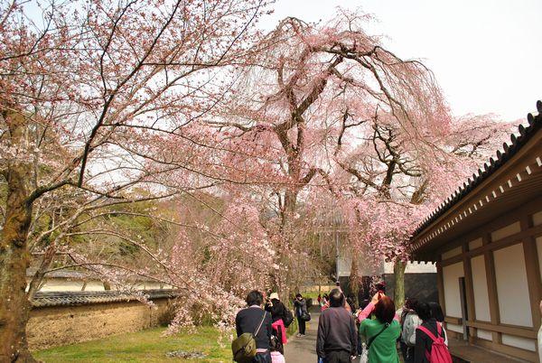 醍醐寺 霊宝館 桜