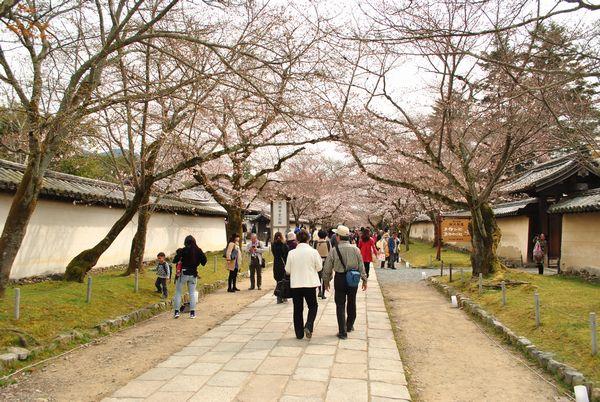 醍醐寺 霊宝館前 桜のトンネル
