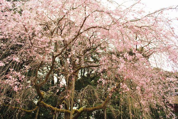 醍醐寺 清滝宮 桜