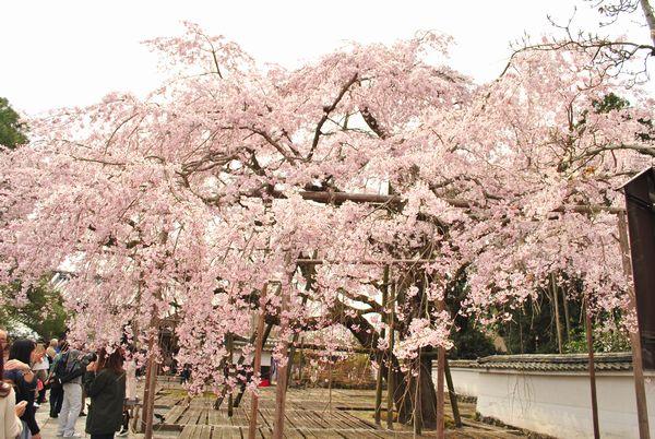 醍醐寺 太閤枝垂れ桜