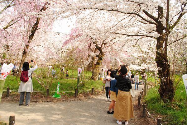 平野神社 桜苑
