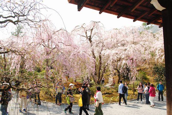 天龍寺 多宝殿 桜