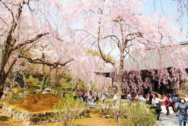 天龍寺 多宝殿 しだれ桜