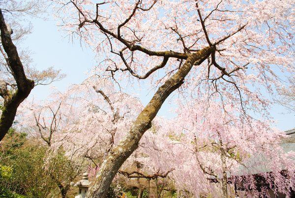 天龍寺 多宝殿 枝垂桜