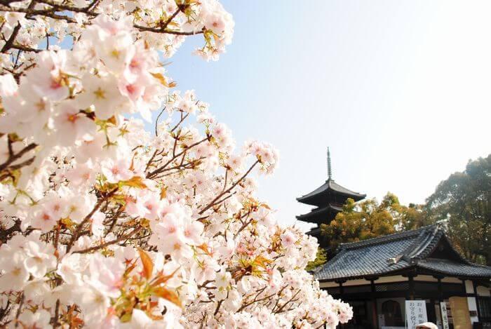 仁和寺 御室桜 五重塔