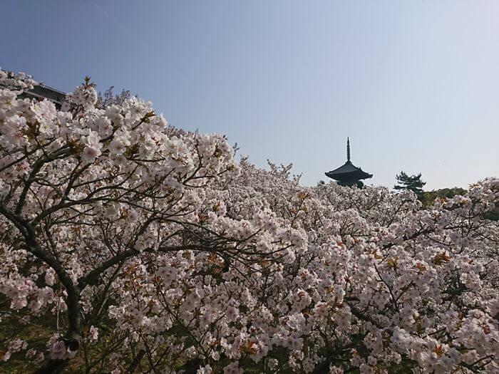 五重塔 御室桜