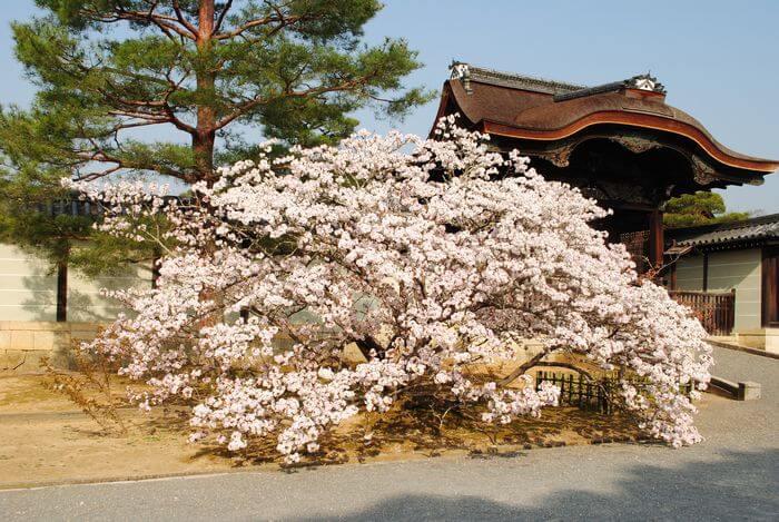 御室桜 有明