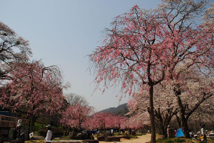 笠置山自然公園 桜