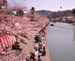 宇治 桜祭り