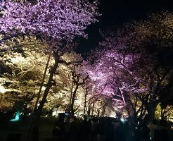 二条城 桜のライトアップ