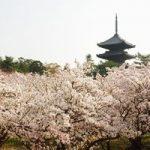桜200株が満開!仁和寺の御室桜を見に行きました。